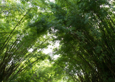 Towering bamboo plants